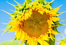 Flower sunflower closeup backlit Stock Images