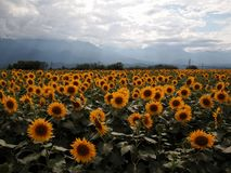 Flower, Sunflower, Field, Sky royalty free stock images