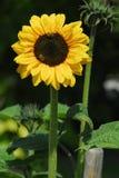 Flower, Sunflower, Flowering Plant, Daisy Family stock photos