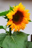 Flower, Sunflower, Flowering Plant, Plant stock photos