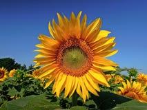 Flower, Sunflower, Flowering Plant, Sunflower Seed Stock Images