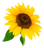 Flower sunflower with green leaf Royalty Free Stock Photo