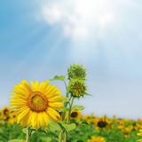 Flower of sunflower and green plant under blue sky with sun and Stock Photo