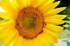 Flower, Sunflower, Honey Bee, Yellow Royalty Free Stock Photo