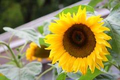 The flower of sunflower Stock Image