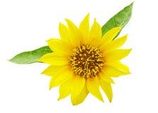 Flower of sunflower Stock Images
