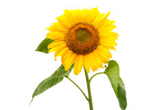 Flower of sunflower isolated Royalty Free Stock Photo