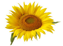 Flower of sunflower isolated on a white background. Stock Photography