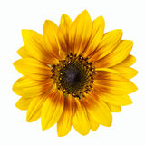 Flower of a sunflower isolated on white background Royalty Free Stock Photography
