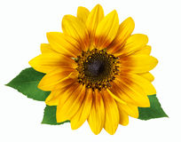 Flower of a sunflower isolated on white background Stock Photography