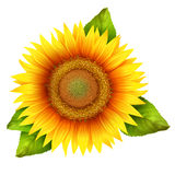 Flower of sunflower with leaves Stock Photography