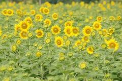 Flower. Sunflower nature yellow Thailand tree background royalty free stock photos