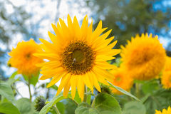 Flower sunflower is pollinated by bees. Spring Stock Images