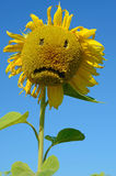 Flower of sunflower sad physiognomy (sadness, despair, depressio. N, old age - concept Royalty Free Stock Photography