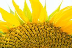 Flower sunflower with seeds closeup.  stock photos
