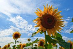 Flower, Sunflower, Sky, Flowering Plant stock photos
