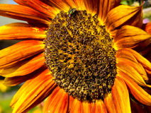 Flower  sunflower. Royalty Free Stock Image