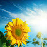 Flower of sunflower and sun in blue sky Royalty Free Stock Photos