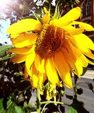 Flower of a sunflower in the sun. Plant Royalty Free Stock Photo