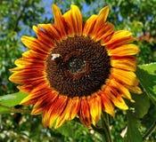 Flower, Sunflower, Sunflower Seed, Flowering Plant Stock Photos