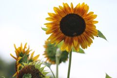 Flower, Sunflower, Sunflower Seed, Flowering Plant Royalty Free Stock Images