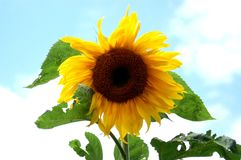 Flower, Sunflower, Sunflower Seed, Flowering Plant royalty free stock photography