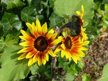Flower, Sunflower, Sunflower Seed, Plant Royalty Free Stock Photography