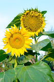 Flower of sunflower. Sunflower. Flower of sunflower. Two Sunflower Stock Photo