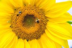 Flower of a sunflower stock photos