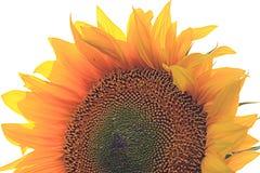 Flower of sunflower Royalty Free Stock Photo