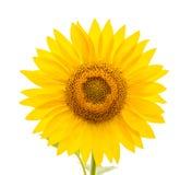 Flower of sunflower on white background Stock Image