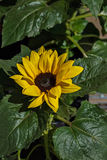Flower of sunflower. Royalty Free Stock Images