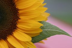 Flower, Sunflower, Yellow, Close Up Royalty Free Stock Images