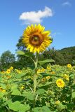 Flower, Sunflower, Yellow, Field stock images