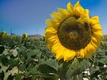 Flower, Sunflower, Yellow, Field royalty free stock photos