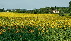 Flower, Sunflower, Yellow, Field royalty free stock image