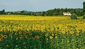 Flower, Sunflower, Yellow, Field royalty free stock image