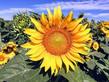 Flower, Sunflower, Yellow, Flowering Plant royalty free stock photo