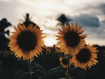 Flower, Sunflower, Yellow, Flowering Plant royalty free stock photos