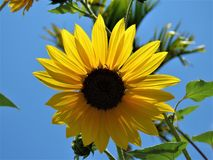 Flower, Sunflower, Yellow, Flowering Plant stock images