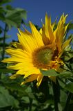 Flower, Sunflower, Yellow, Plant Stock Images