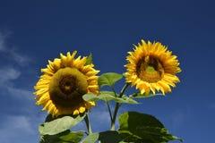 Flower, Sunflower, Yellow, Sky
