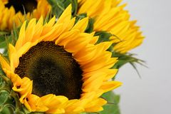 Flower, Sunflower, Yellow, Sunflower Seed Stock Photo