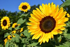 Flower, Sunflower, Yellow, Sunflower Seed Stock Photography