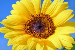 Flower, Sunflower, Yellow, Sunflower Seed Stock Images
