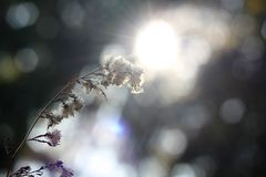 Flower in the sunlight. Against the sun ,vintage lens used,bokeh by old lens Stock Image
