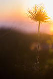 Flower at sunset. A beautiful flower at sunset Stock Photos