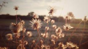 Flower on sunset. Grass flower on sunset background , vintage style Stock Photos