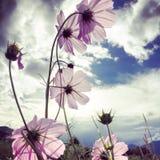 Flower. The flower in sunshine in Tibet Royalty Free Stock Image