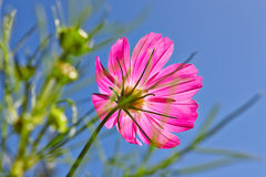 Flower in sunshines. Flower in sunshines on blue sky background Royalty Free Stock Photo